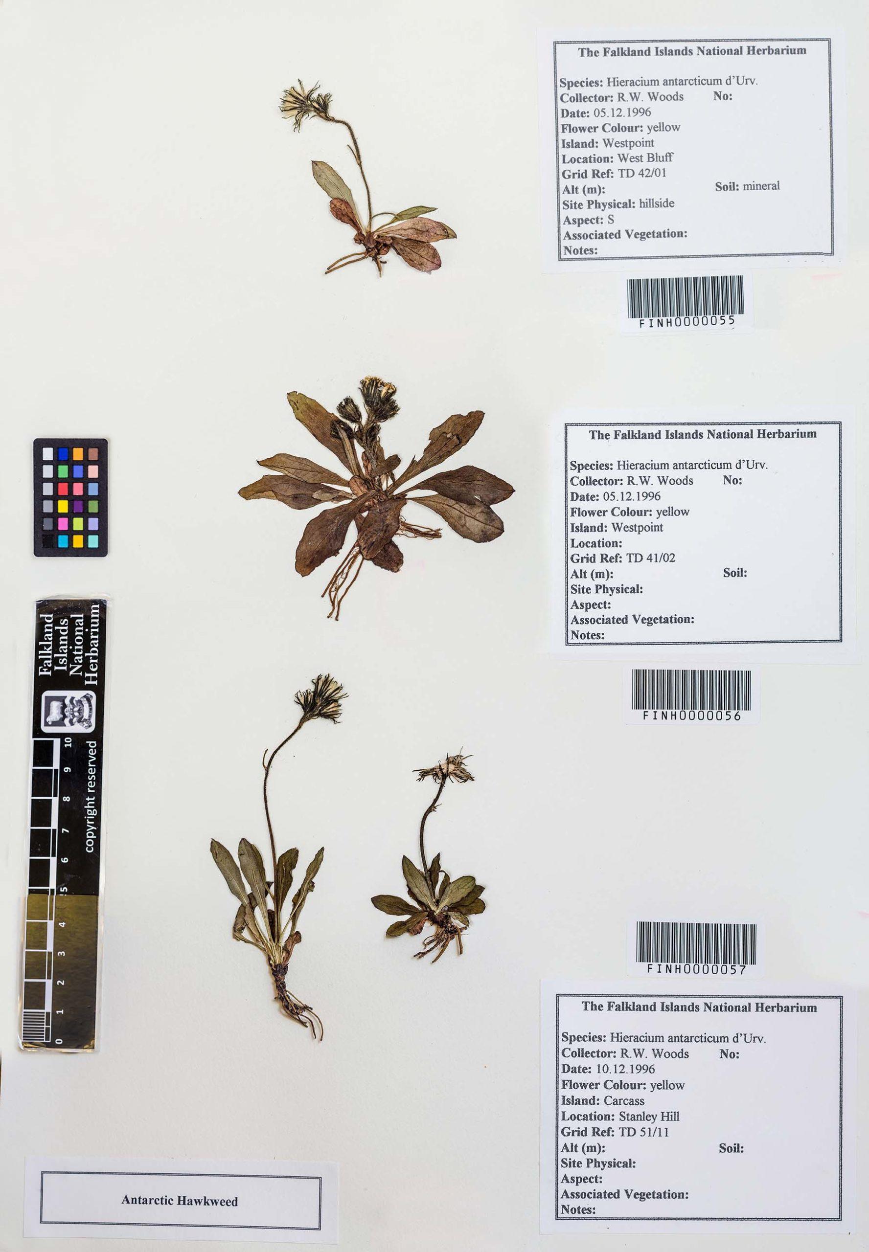 Hieracium antarcticum
