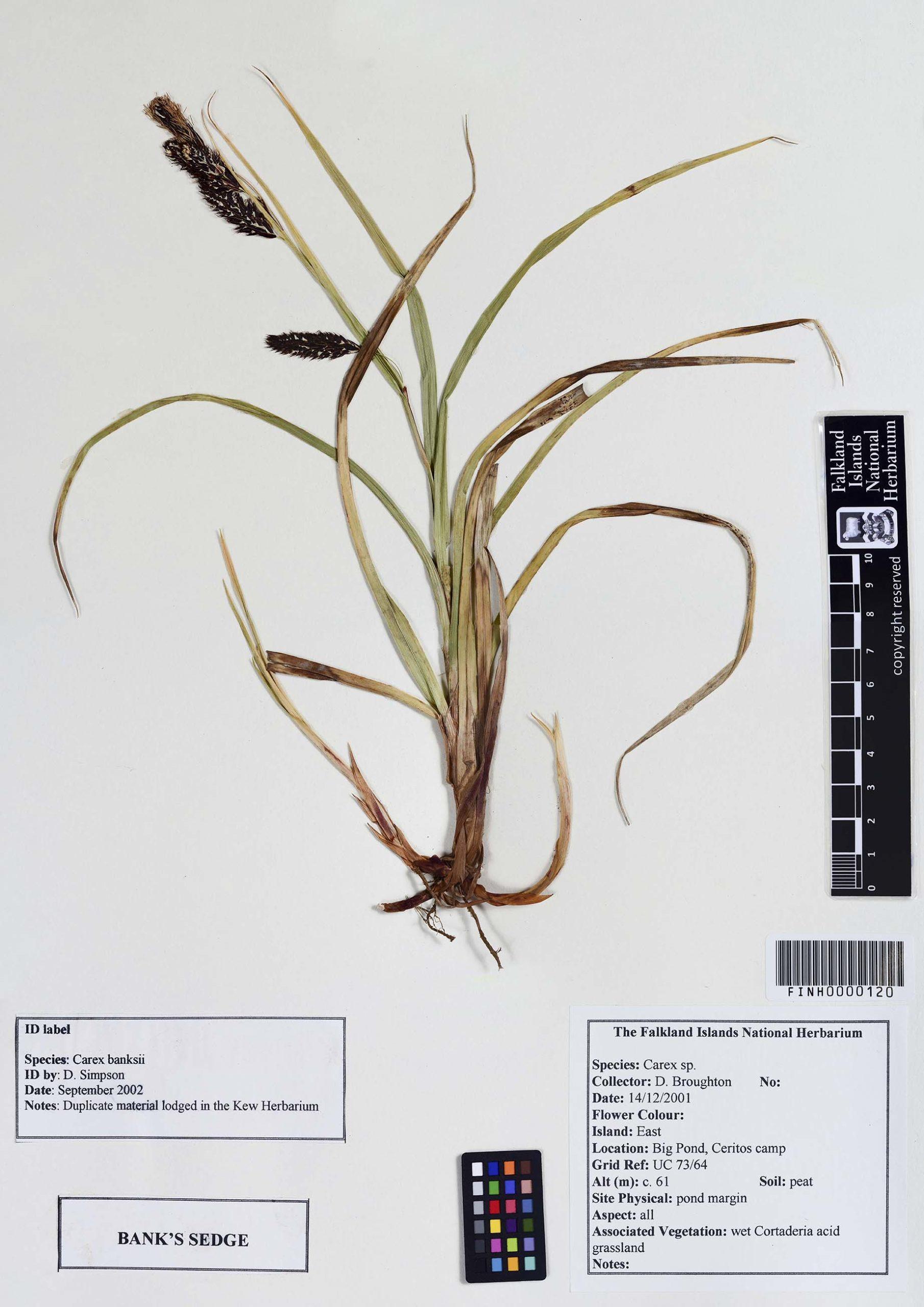 Carex banksii