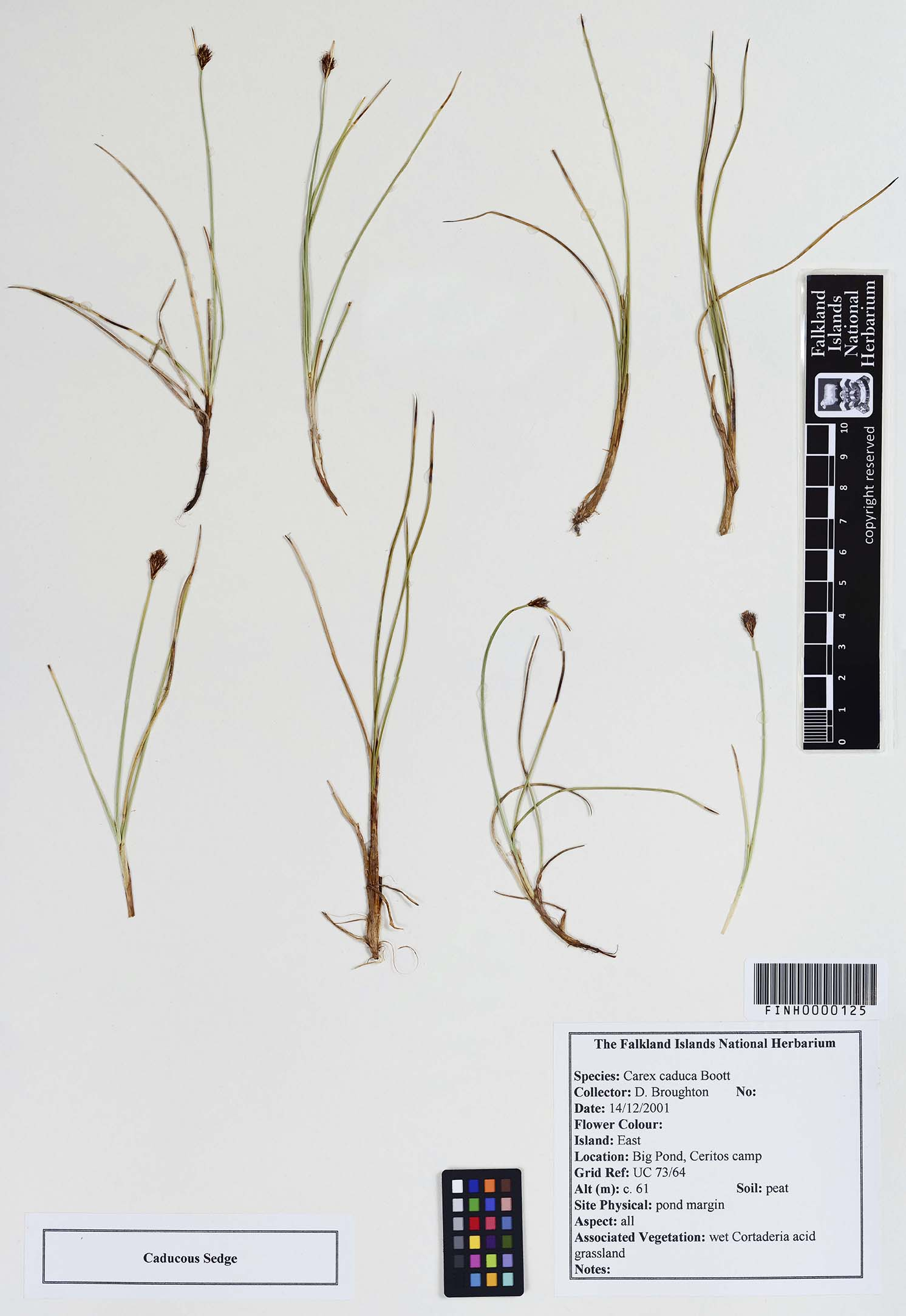 Carex caduca