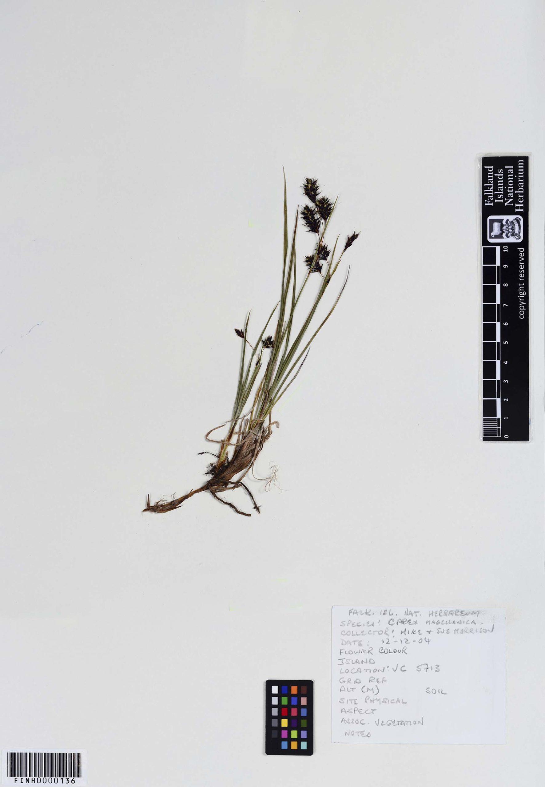 Carex aematorrhyncha