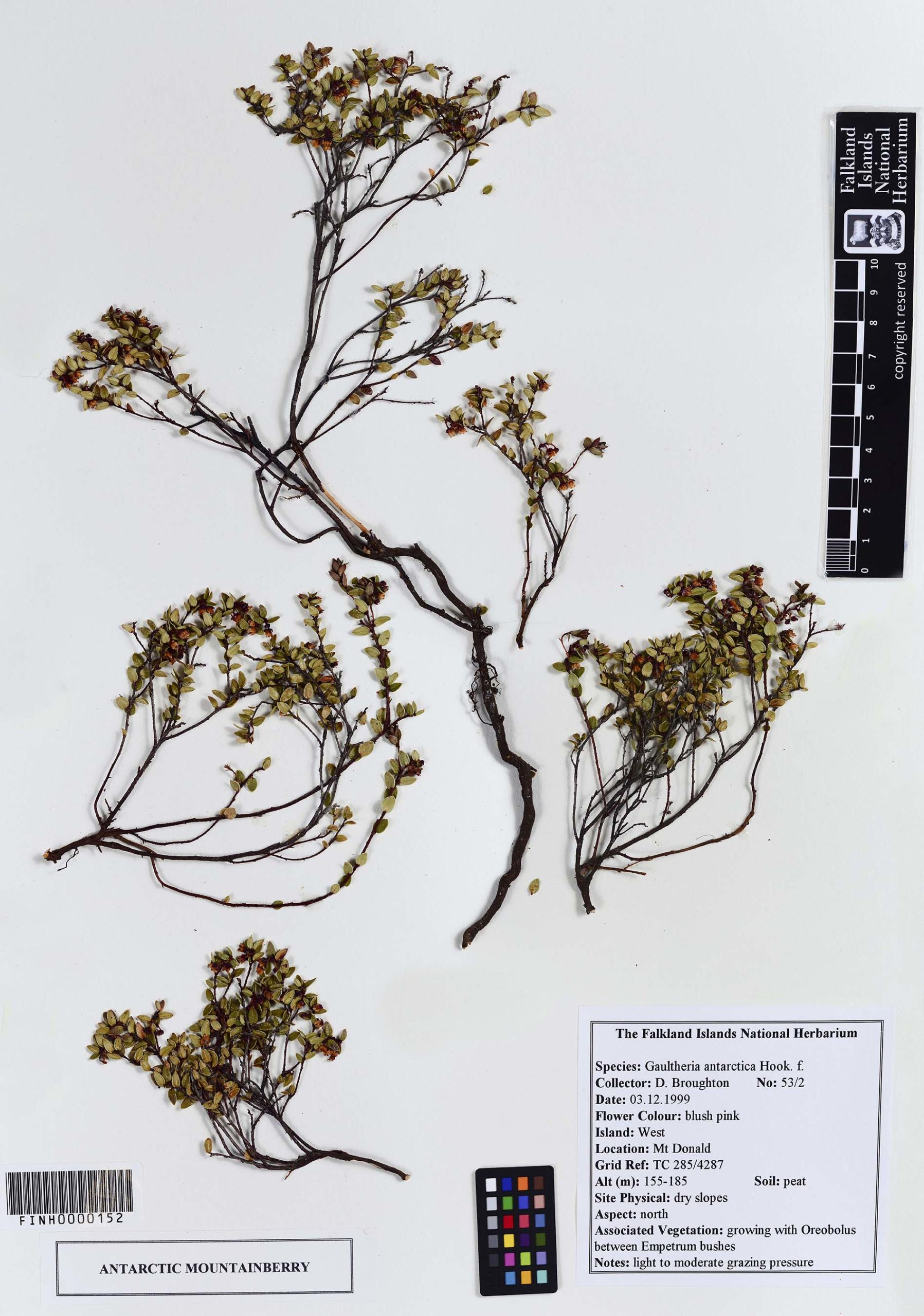 Gaultheria antarctica