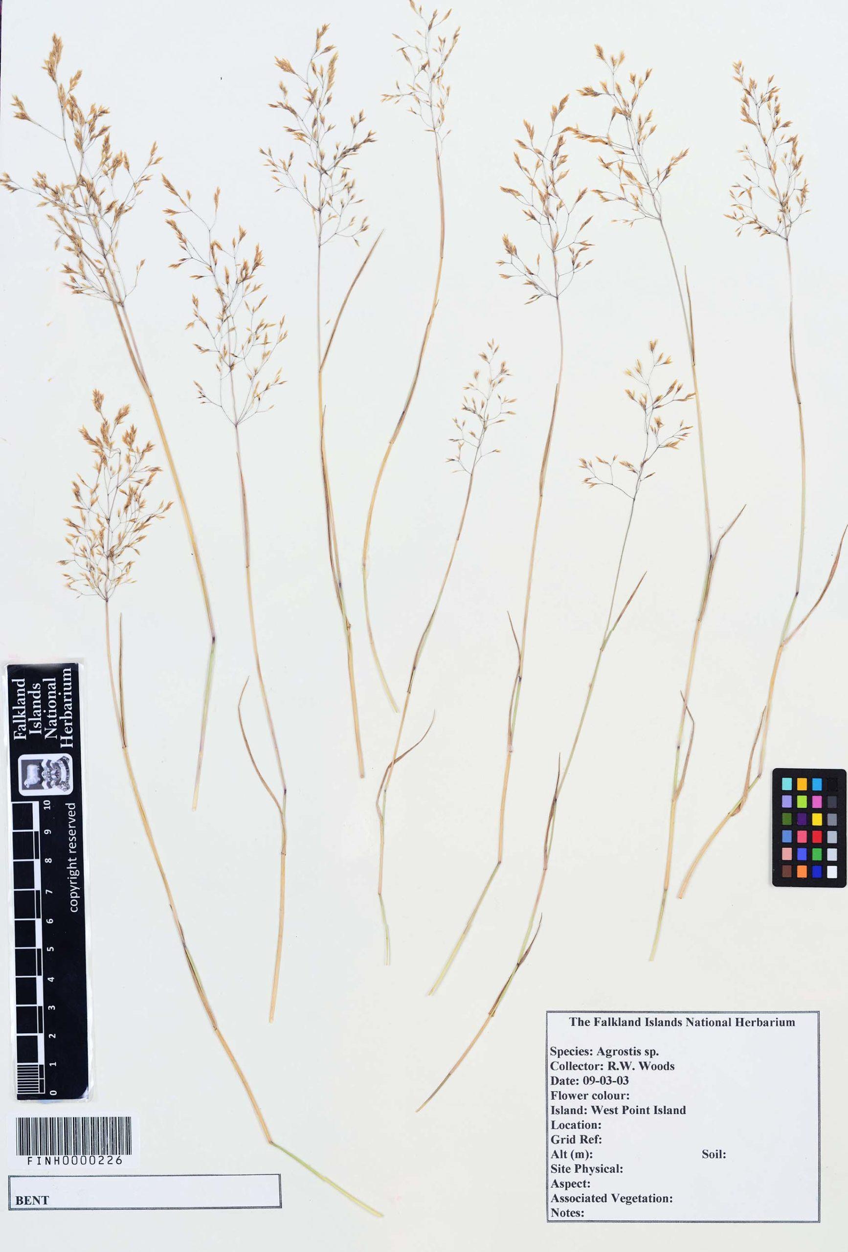Agrostis sp.