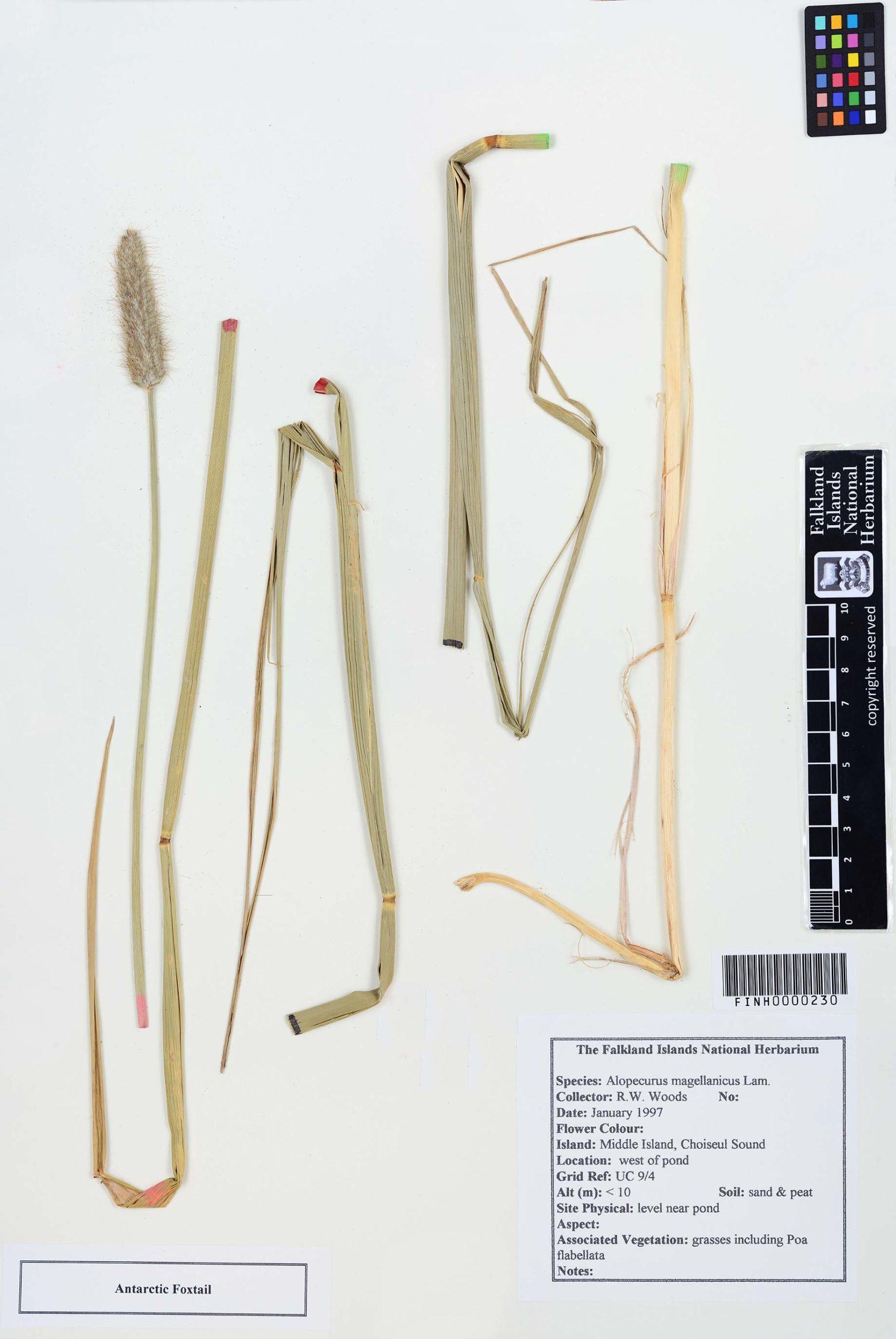 Alopecurus magellanicus