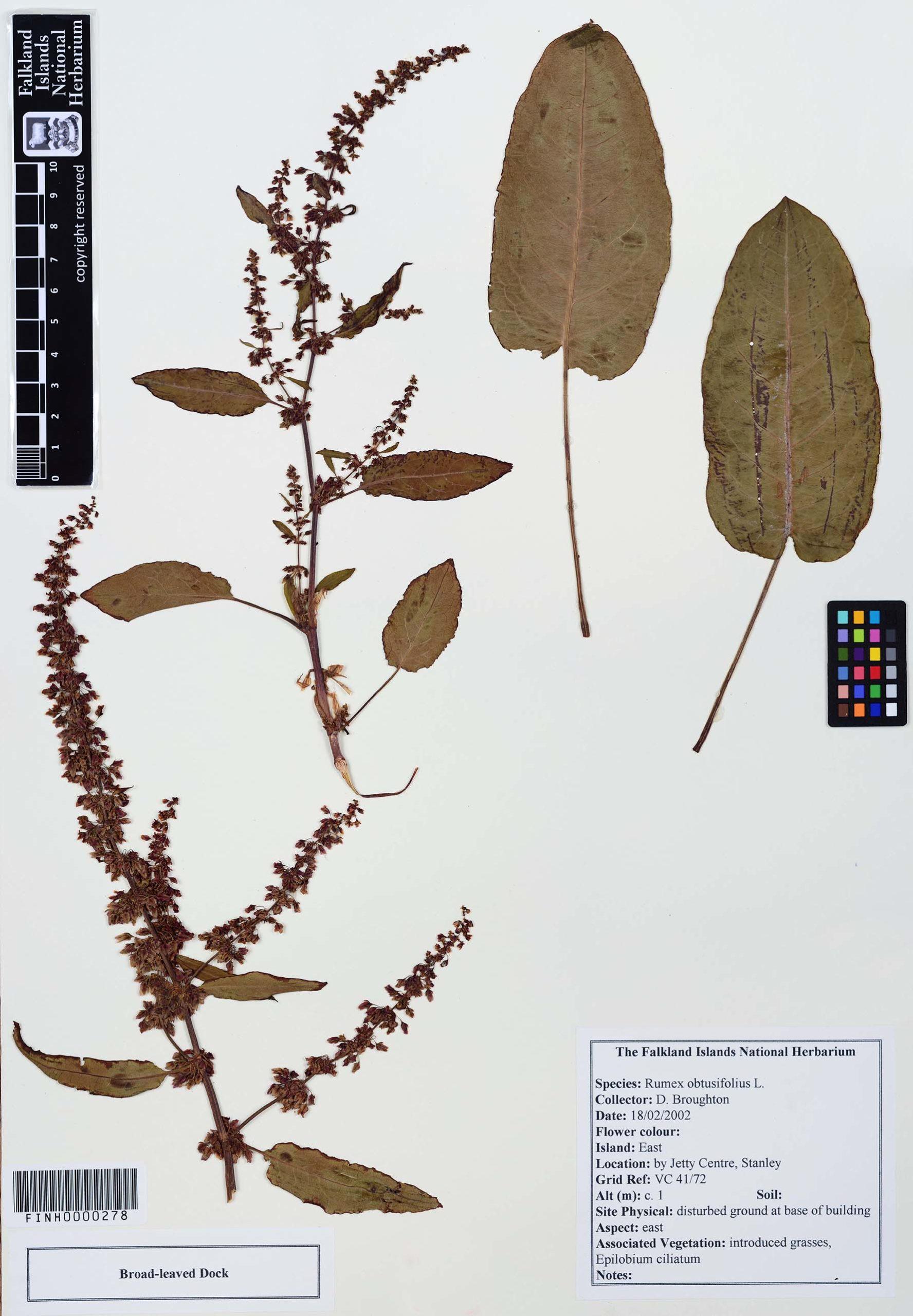 Rumex obtusifolius