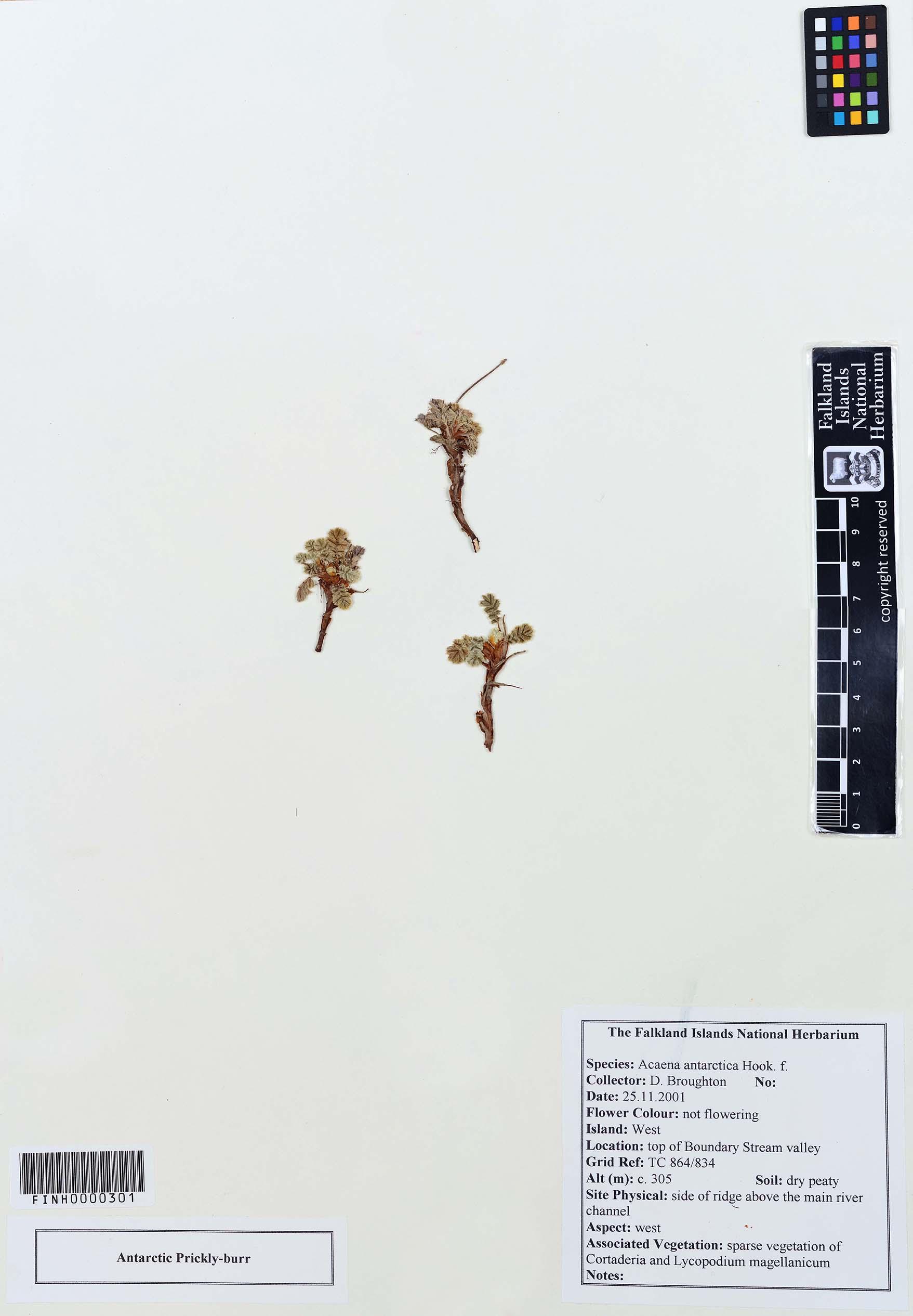 Acaena antarctica