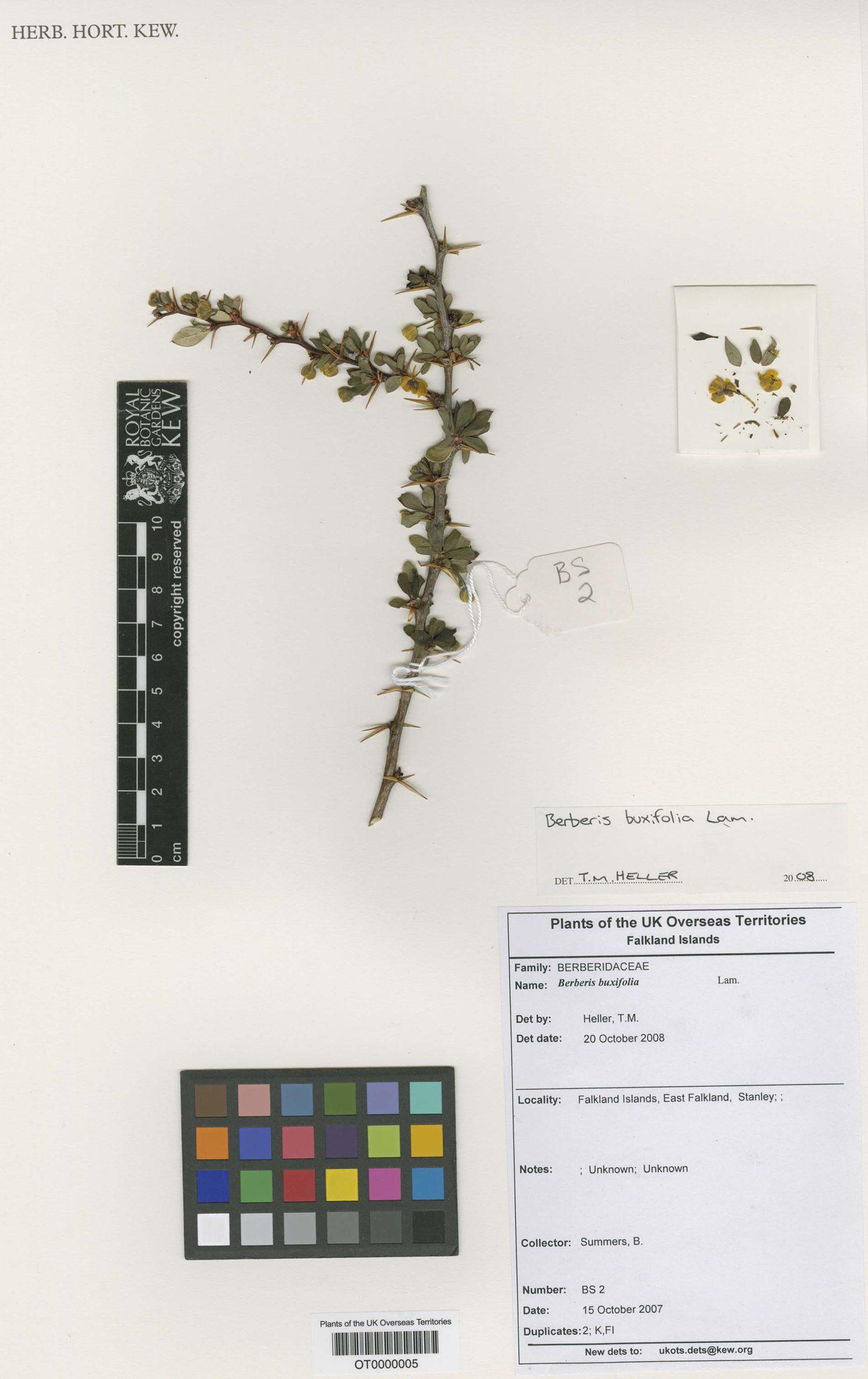 Berberis buxifolia Lam.