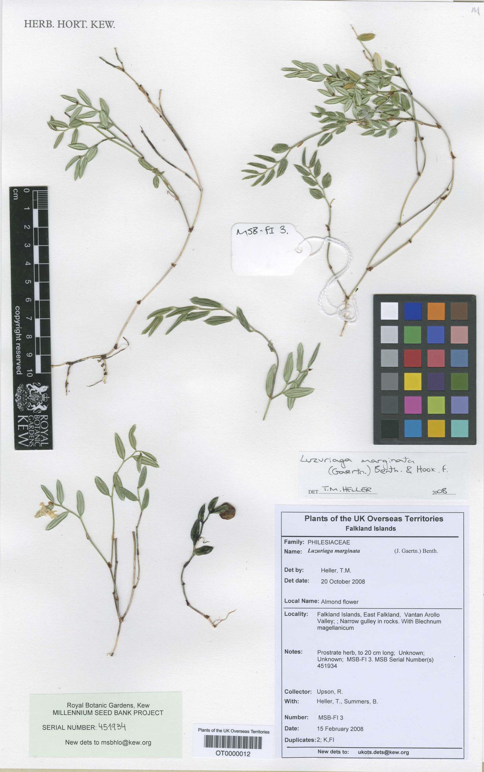 Luzuriaga marginata (Gaertn.) Benth. & Hook.f.