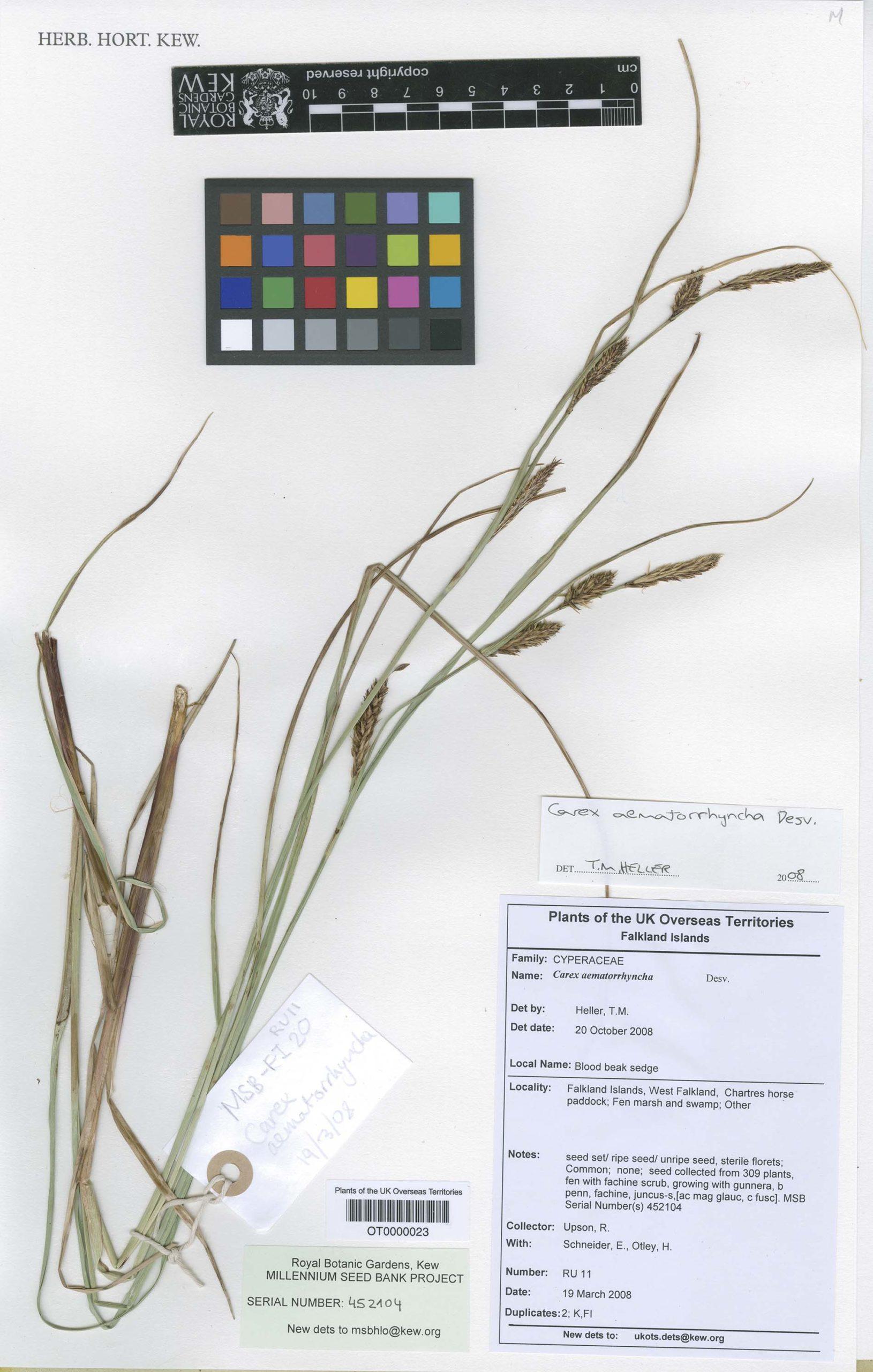 Carex aematorrhyncha Desv. var. corralensis (Phil.) Kük.